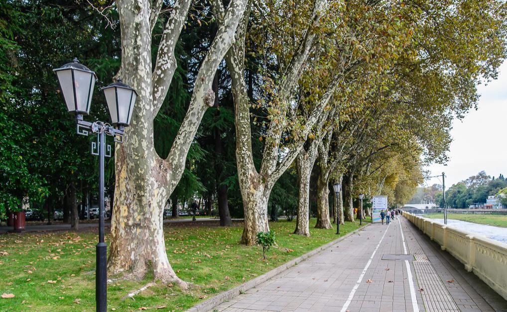 Платановые деревья в сочи фото