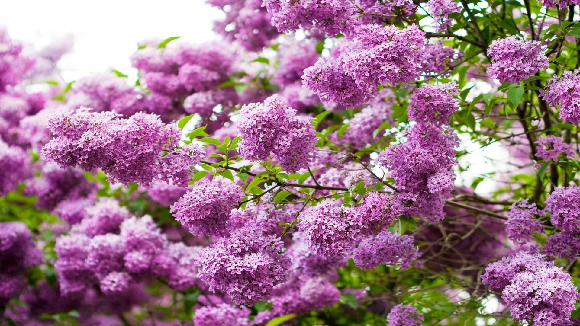 цветы природа сирень  № 2224156 бесплатно